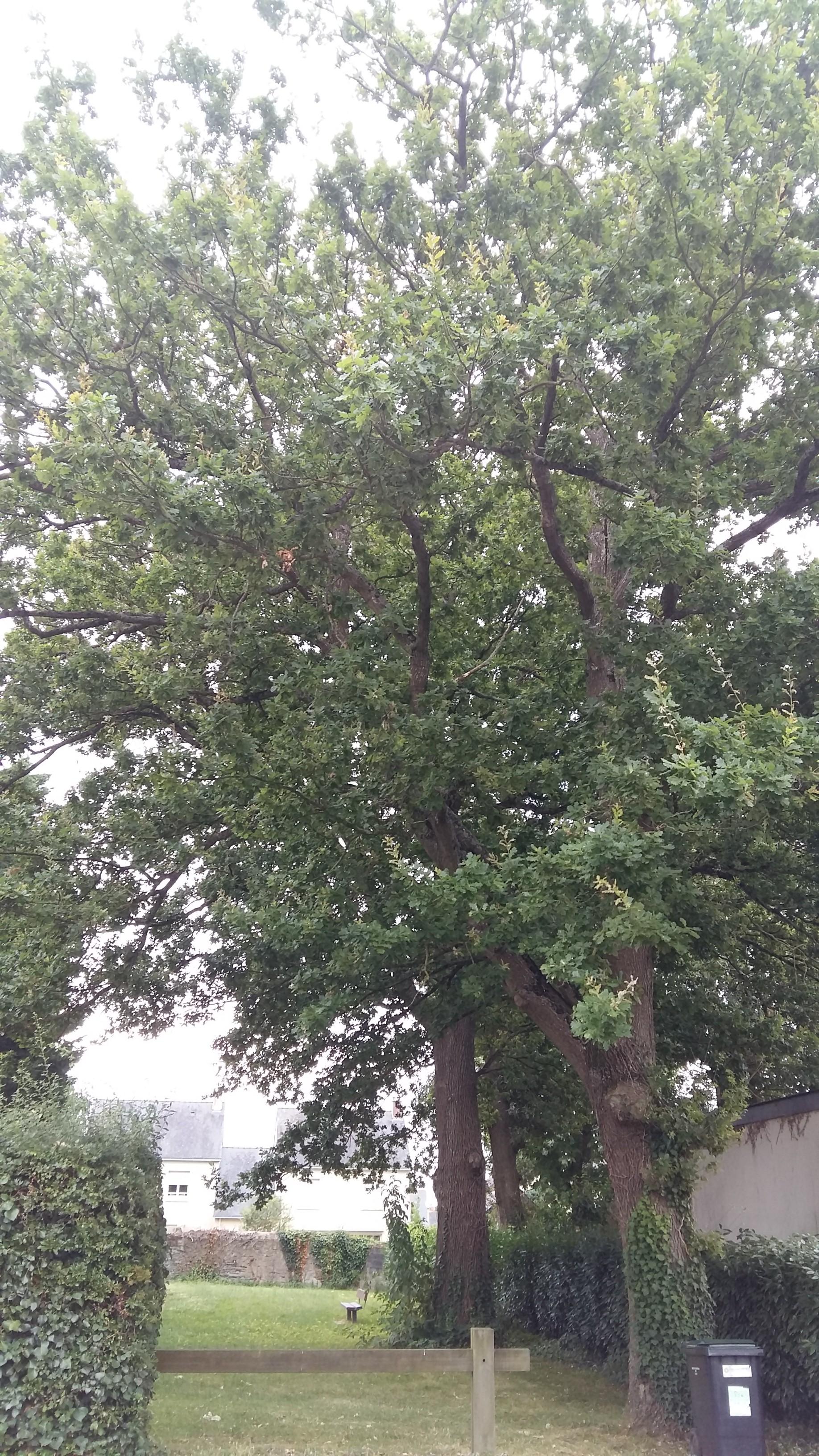 Chênes pédonculés